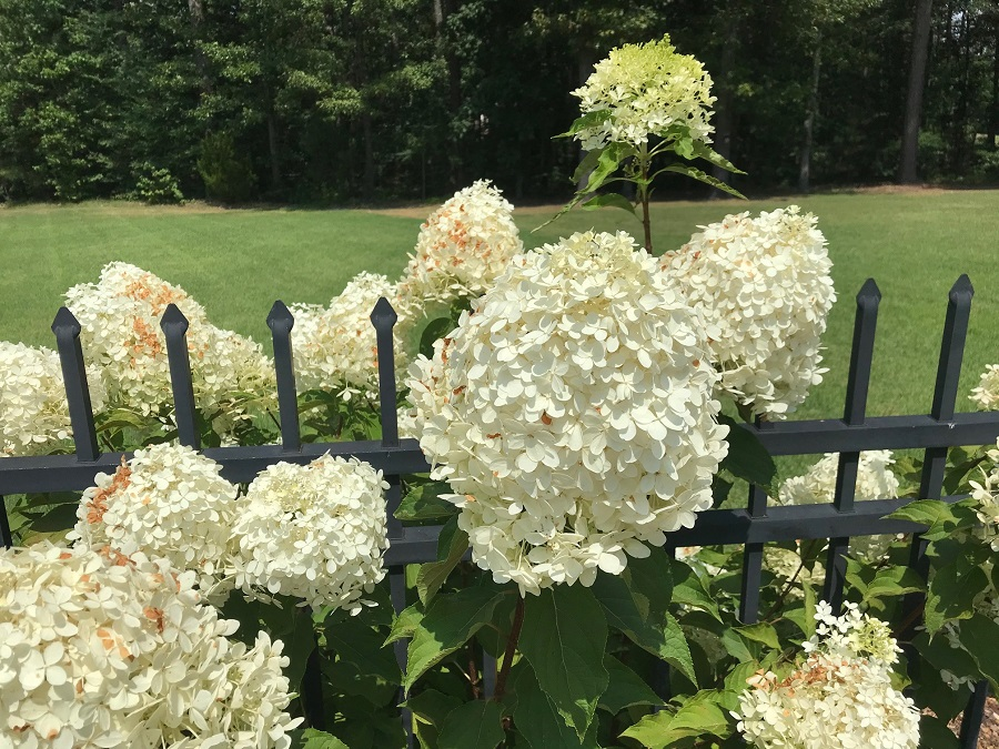 Why Are My White Hydrangea Blooms Turning Brown Johntheplantman Gardening